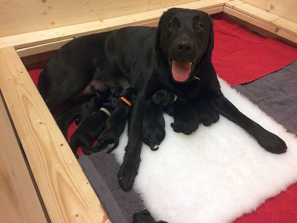 Labradorhündin mit Welpen