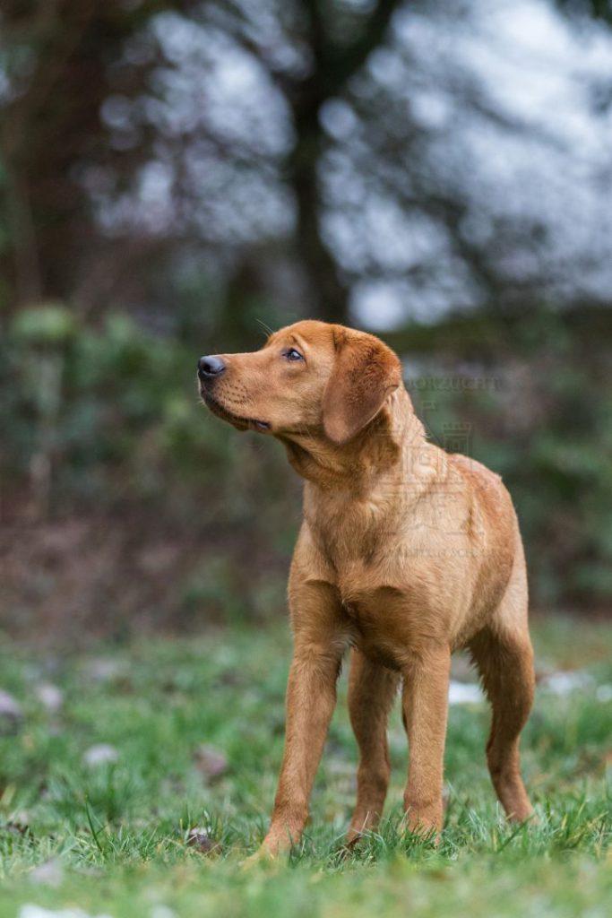 Labradorzucht Bayern Foxred Welpen
