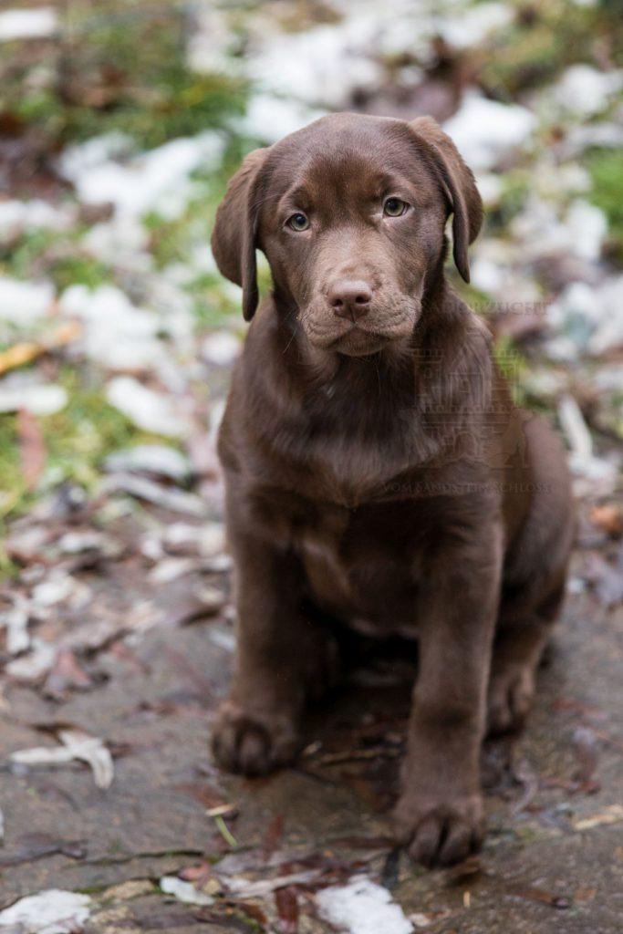 Brauner Labrador Retriever Welpe