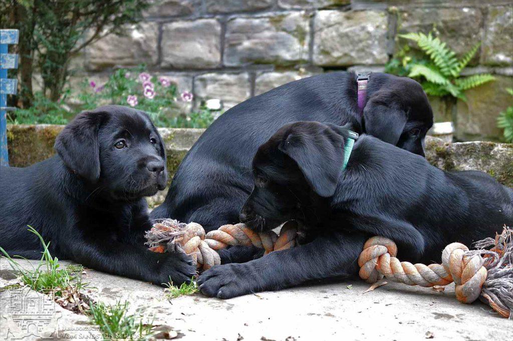 Labrador-welpe-3
