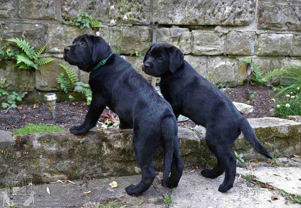 Labrador-welpe-4